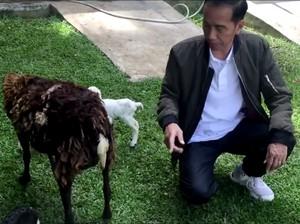 Kodok, Kambing hingga Biawak Hiburan Jokowi di Istana Bogor