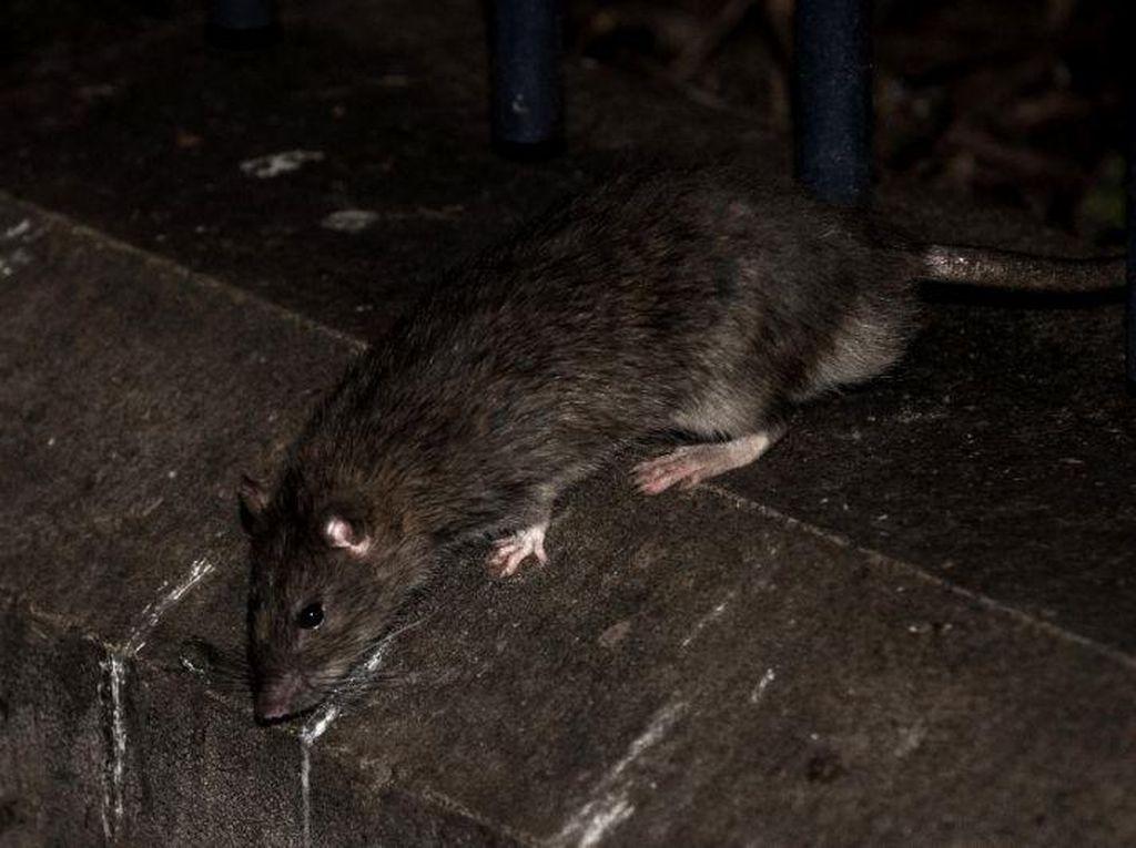 Di Tengah Pandemi Corona, Penyakit Kencing Tikus Tewaskan 1 Orang di Klaten