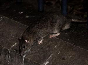 Paris Akan Habiskan Rp 21 M untuk Basmi Tikus