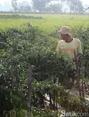Puluhan Hektare Tanaman Cabai di Garut Terserang Patek
