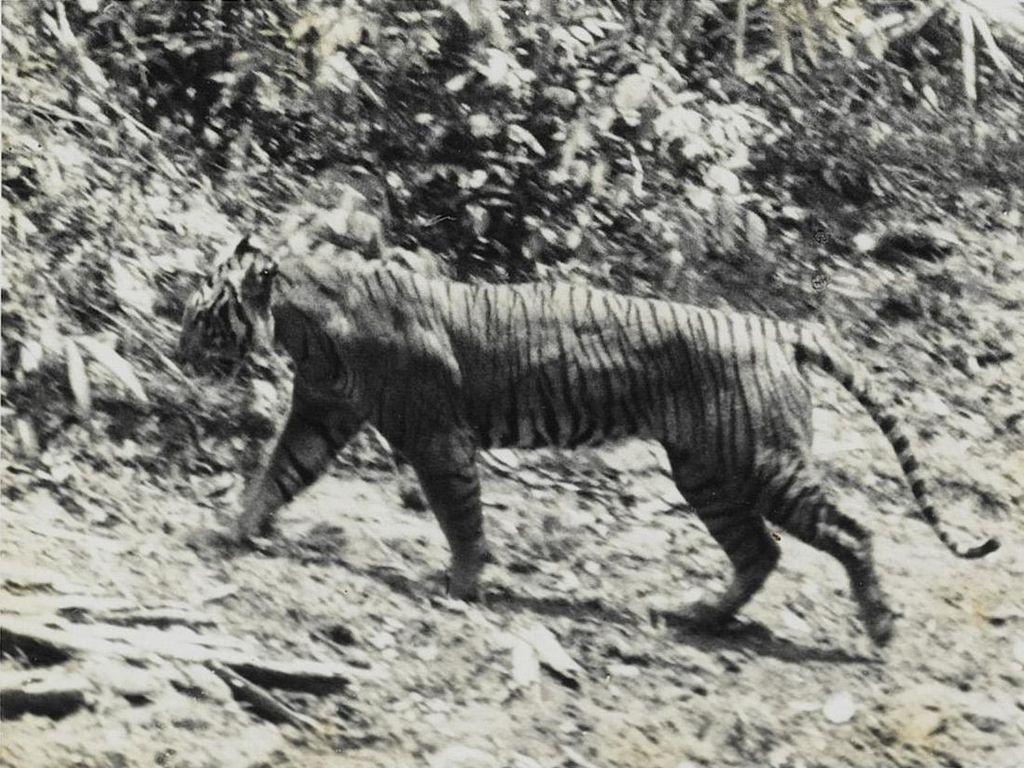 Warga Pacitan Lihat Sang Loreng, Harimau Jawa Bangkit dari Kepunahan?