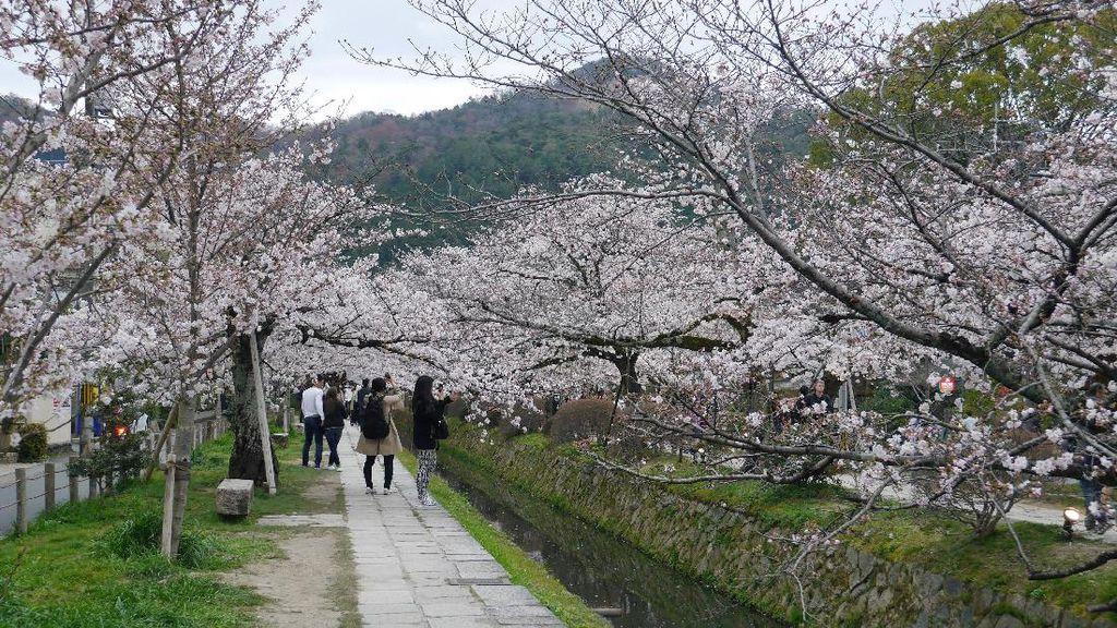 Potret Cantik Sakura yang Bermekaran di Kyoto