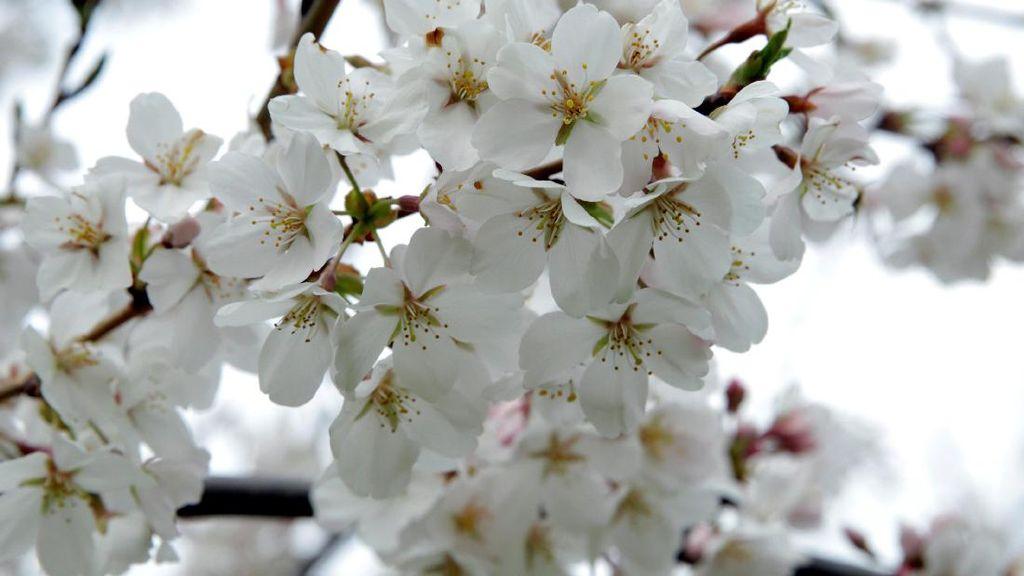 Cantiknya Bunga Sakura saat Bersemi di Washington