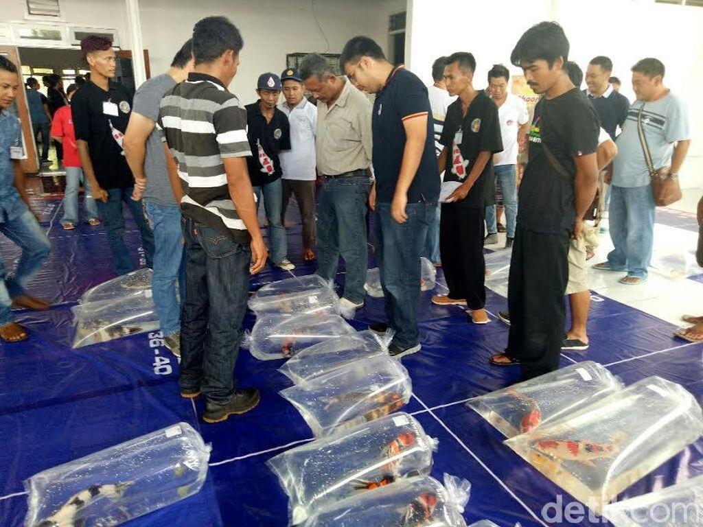 Kontes Perdana Ikan Koi se Jawa-Bali Digelar di Banyuwangi