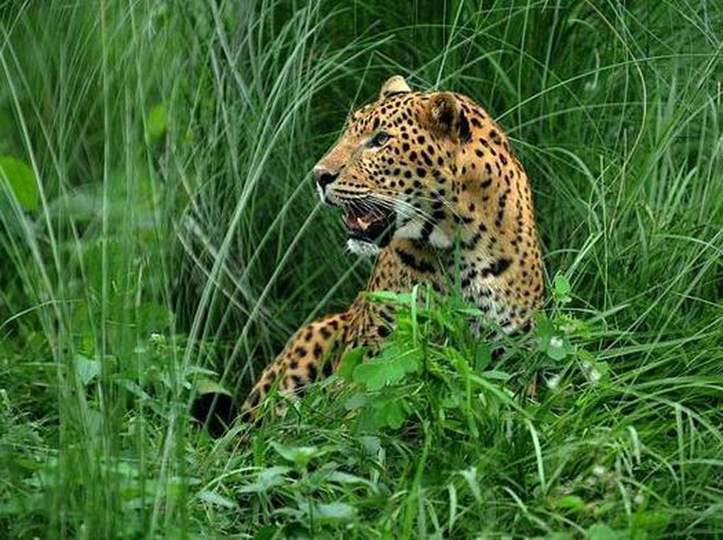 Bunuh Macan Tutul dengan Keji, 2 Pria Ditangkap di Sri Lanka