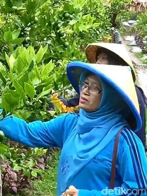 Wisata Petik Jeruk Garut, Segarnya Menikmati Buah dari Pohonnya