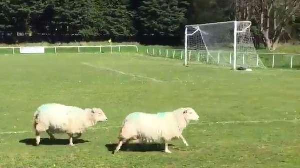 Balap Lari Dua Domba yang Ganggu Sebuah Laga Sepakbola