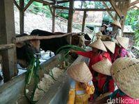 Anak-anak yang memberi makan sapi (Muhammad Iqbal/detikTravel)