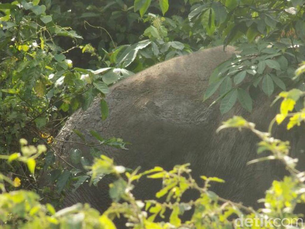 Gajah Liar di Riau Ditemukan dalam Kondisi Penuh Luka di Tubuhnya