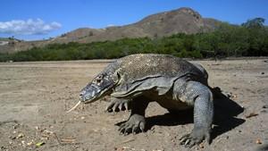 Riset Ilmuwan AS: Darah Komodo Berpotensi Sembuhkan Luka