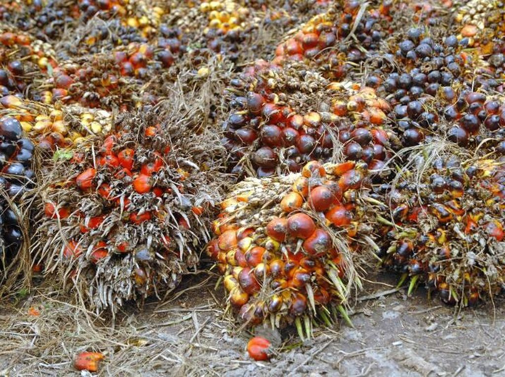 Ngeri! Begini Ganasnya Dampak Corona bagi Petani Sawit