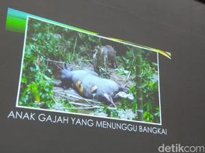Sadis! Gading Gajah yang Mati Hilang, Kepala Dibelah