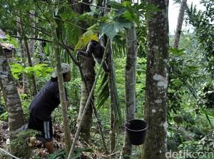 Aneka Cerita Tingkah Owa Jawa di Cimaranginan Sukabumi