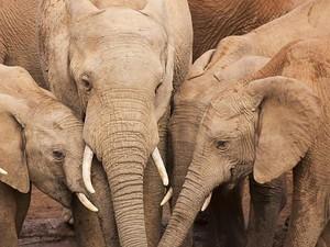 Mengapa Kita Tak Boleh Kencing di Depan Gajah?