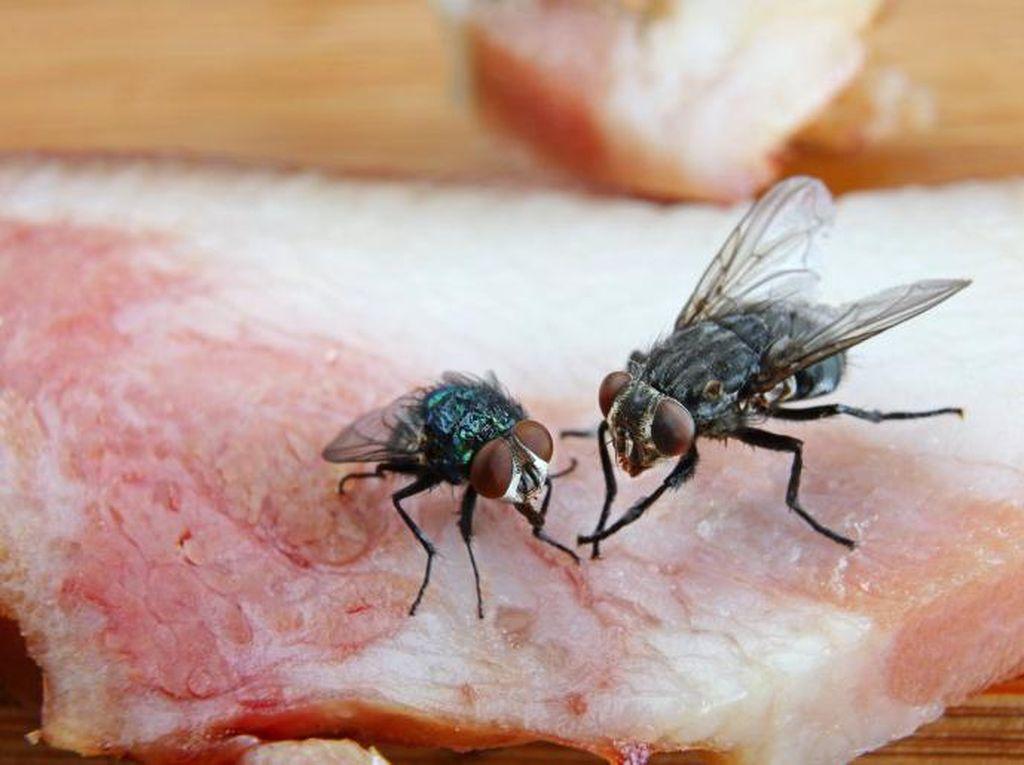 Ini Bahayanya Jika Lalat Telanjur Hinggap di Makanan