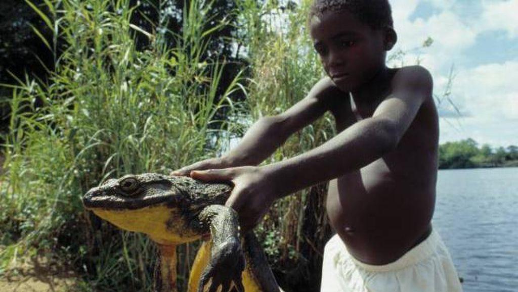Katak Raksasa Juga Ada di Afrika, Beratnya 3 Kg!