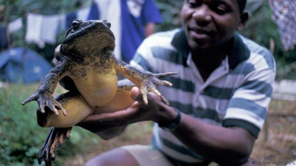 Katak Raksasa dari Sulsel di Antara Katak-katak Jumbo di Dunia