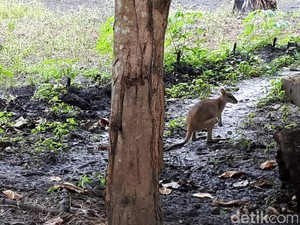 Aturan Adat Samkakai: Sembarang Bunuh Kanguru Bisa Dieksekusi Mati