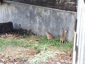 Jual Beli Kanguru Papua di Pasar Gelap Merauke