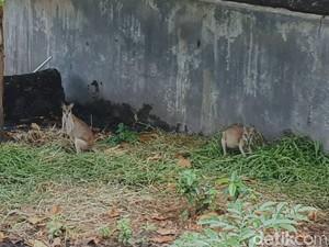 Di Pelukan Adat, Kanguru Papua Berlindung dari Kepunahan