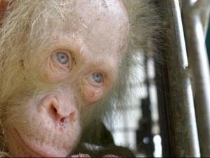 Orangutan Albino Langka di Kalimantan Akhirnya Diberi Nama Alba