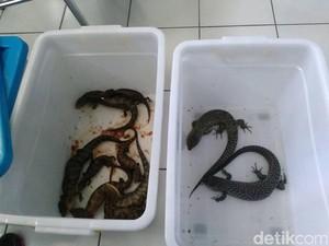 Reptil yang Gagal Diselundupkan Termasuk Ular dan Kadal Dilindungi