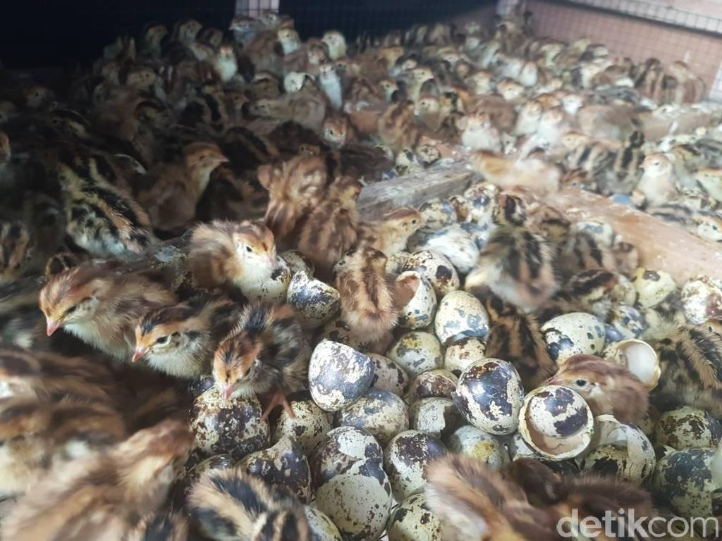 Peternak Burung Puyuh di Sukabumi Dapat KUR dari BRI