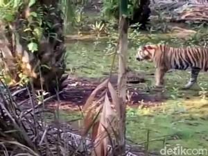 Warga Mengaku Dicakar Harimau yang Berkeliaran di Inhil Riau