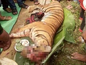 BBKSDA Sumut: Ada Indikasi Perdagangan Harimau Sumatera di Labura