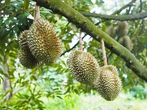 Kisah Kebun Durian yang Keramat di Sabang
