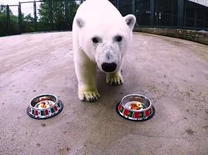 Ini Nika, Beruang Kutub Peramal di Piala Konfederasi