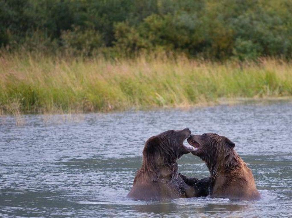 Lihat Aksi Beruang Tangkap Salmon Lewat Siaran Youtube