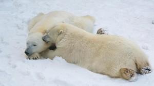 Bukan Cuma Manusia, Beruang Kutub Juga Bisa Bercerai
