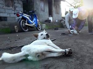 Turis Asing di Bali Terkecoh Santap Daging Anjing yang Diracun