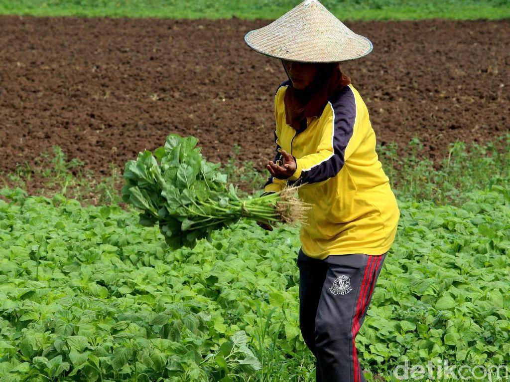 Pertanian Nasional Semakin Kuat