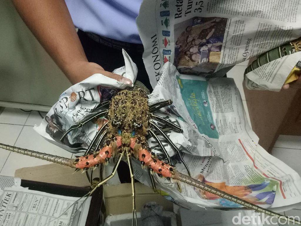 Pengiriman Lobster Berdokumen Ilegal Digagalkan