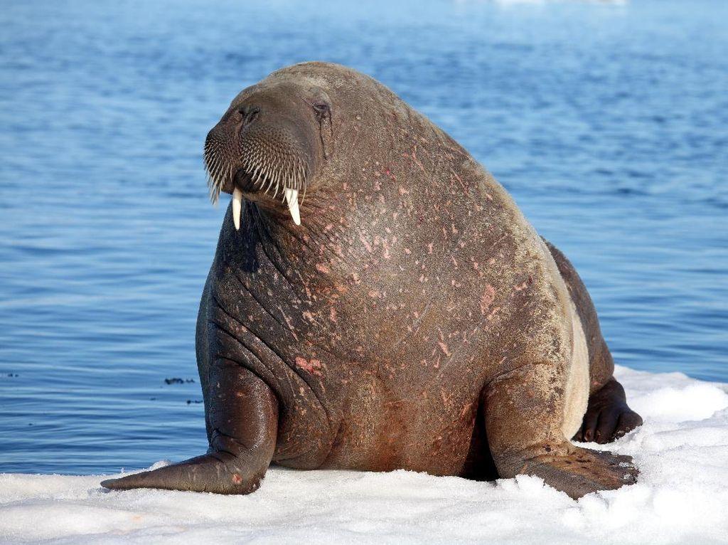 Gara-gara Makan Daging Walrus, 10 Orang Terinfeksi Cacing Parasit