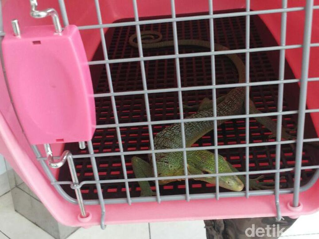 Penyelundupan Biawak Hijau dari Bogor ke Prancis Digagalkan