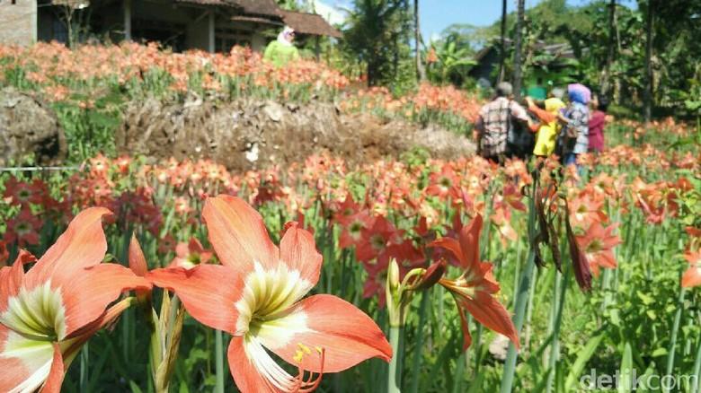 Bunga Amarilis di Gunungkidul mekar kembali (Usman/detikTravel)