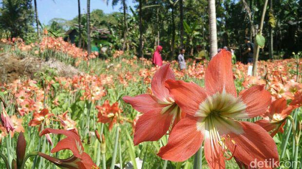 Bunga Amarilis mekar lagi sehabis sempat rusak tahun 2015 (Usman/detikTravel)