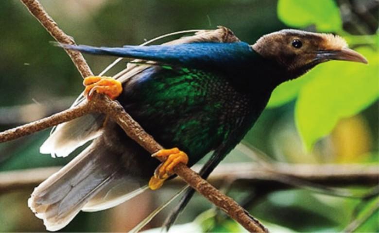 Burung Bidadari Langka Khas Malut