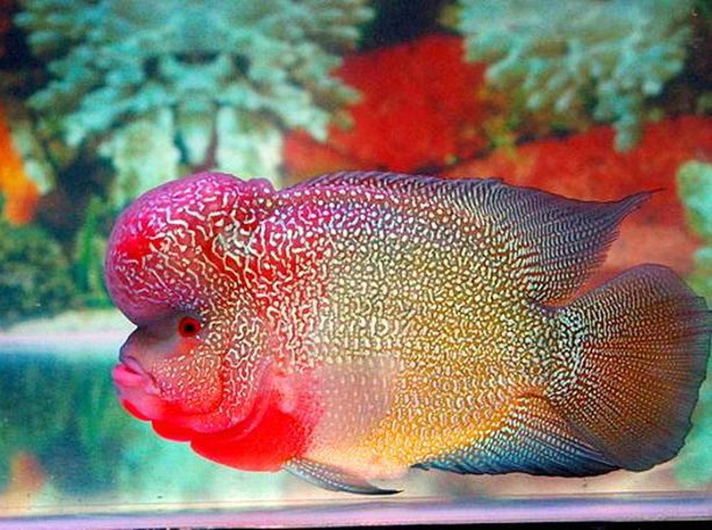 Mewah! Netizen Makan Ikan Arwana hingga Louhan Goreng Jutaan Rupiah