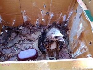 15 Elang Sitaan Polres Malang Dirawat di Garut