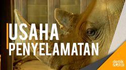Video Penyelamatan Spesies Badak Putih Utara yang Tinggal 3 Ekor