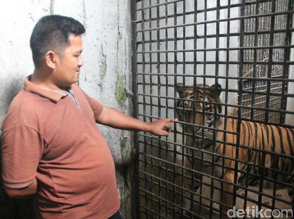 Dikira Suara Kucing, Harimau Benggala di Banjarnegara Melahirkan