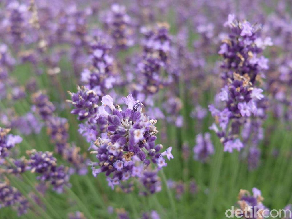 Catat! Tanam Lavender Saja Tak Cukup, Tetap Harus Bersihkan Sarang Nyamuk