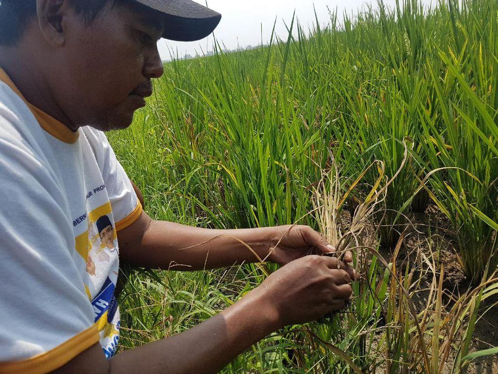 Petani di Serang Terancam Gagal Panen Karena Wereng