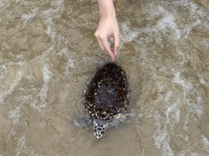 Rayakan HUT Raja, Warga Thailand Lepaskan 1.066 Penyu ke Laut