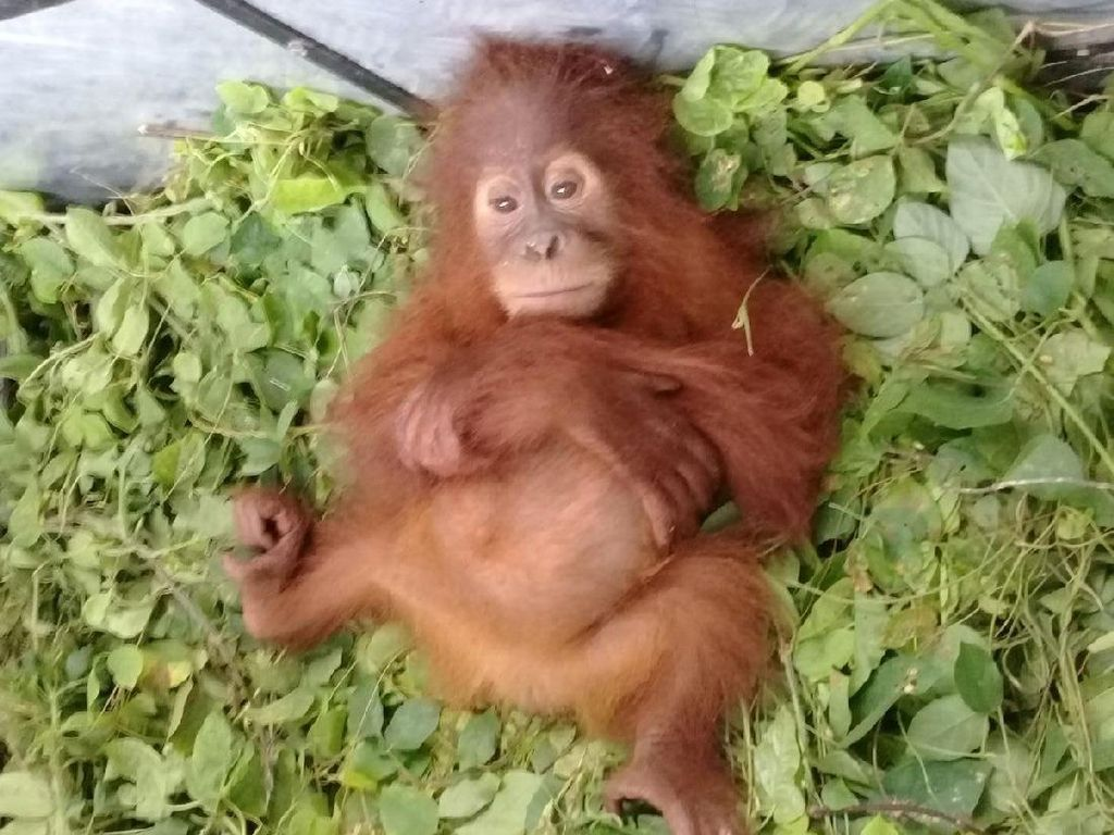 Miris! Orangutan Sumatera Diselundupkan ke Thailand