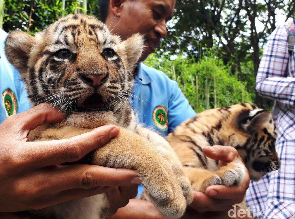 Bunbin Bandung Cari Bapak Asuh untuk Bayi Harimau, Siapa Mau?
